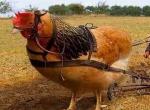 کود پلت مرغی تیوا